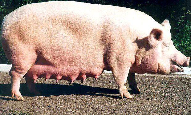 фото беременных свиней