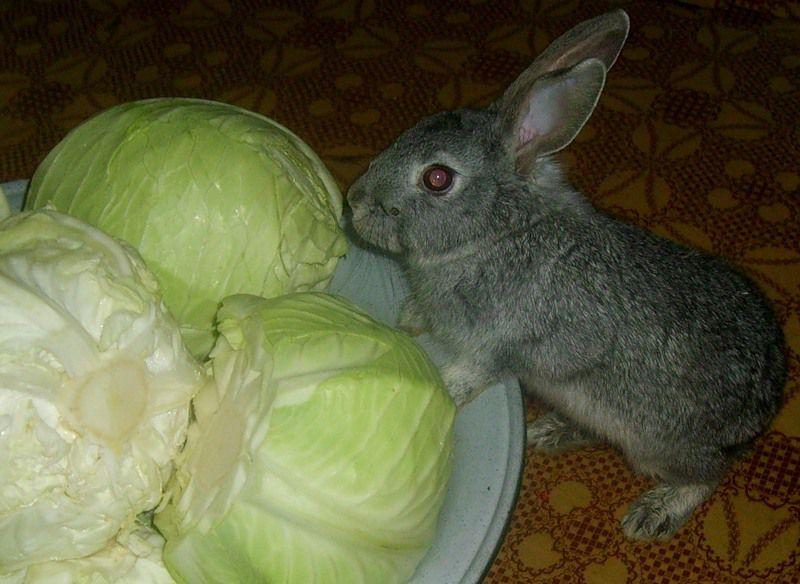 Капуста для кормления кроликов