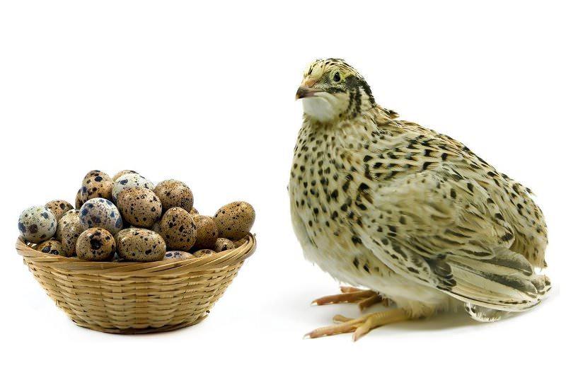 Здоровье перепелки напрямую влияет на качество яиц