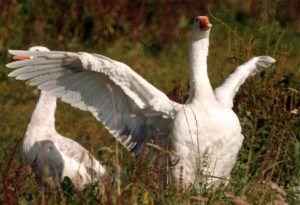 Перья на крыльях - самые крупные, и убирать их нужно в первую очередь