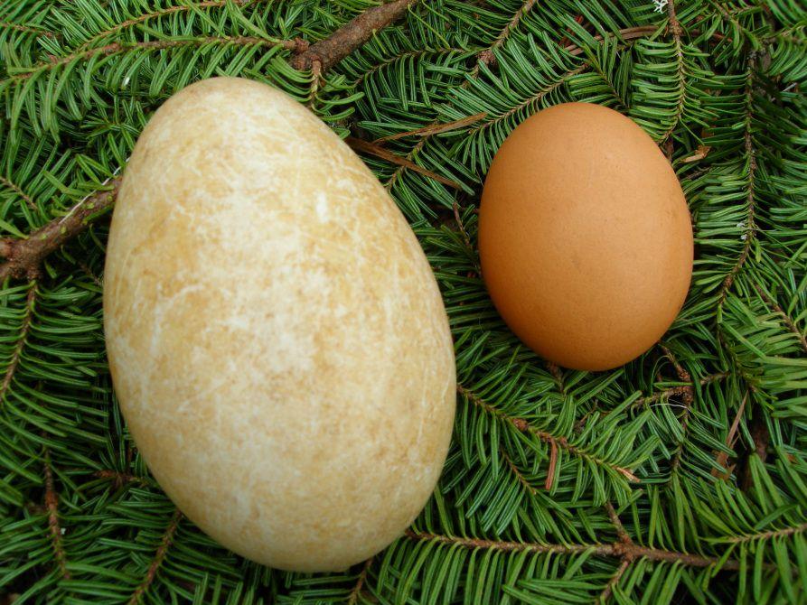 Сравнение гусиного и куриного яиц