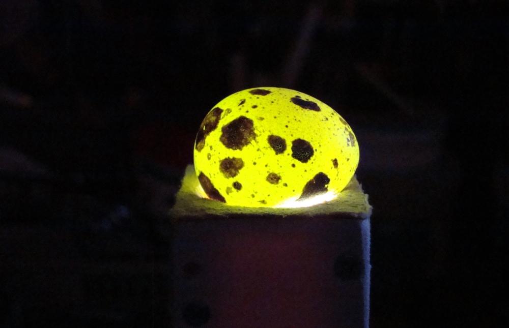 При отсутствии овоскопа можно использовать обычный фонарик