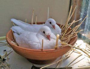 Выведение птенцов