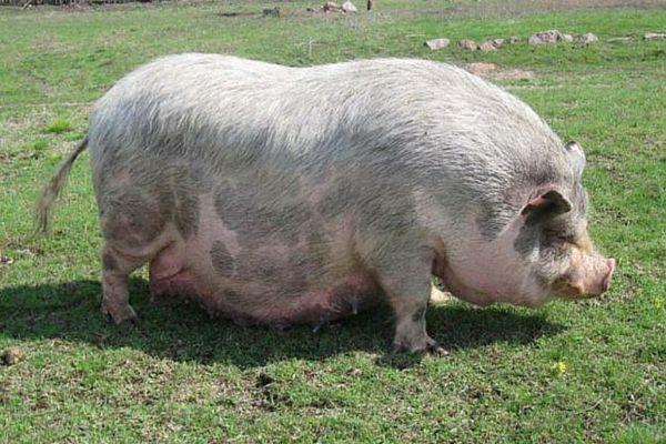 Беременная свинья становится ленивой