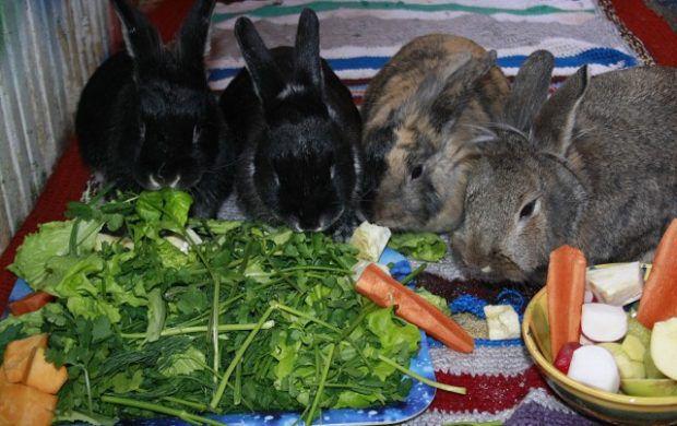 Корм кроликов, состоящий из зеленых и сочных кормов