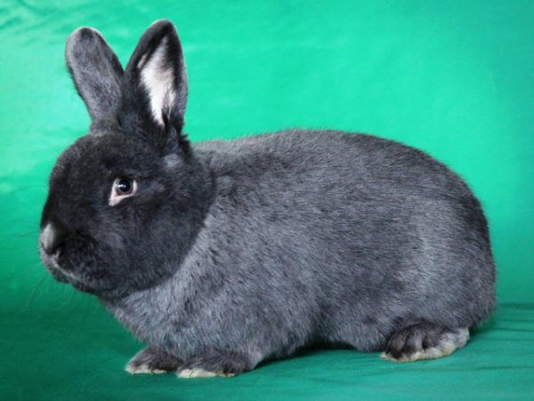 Венгерский (голубой) кролик