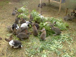Кормление кроликов на ферме, веточный корм