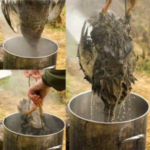Окунать птицу в кипяток проблематично, вода должна быть менее горячей