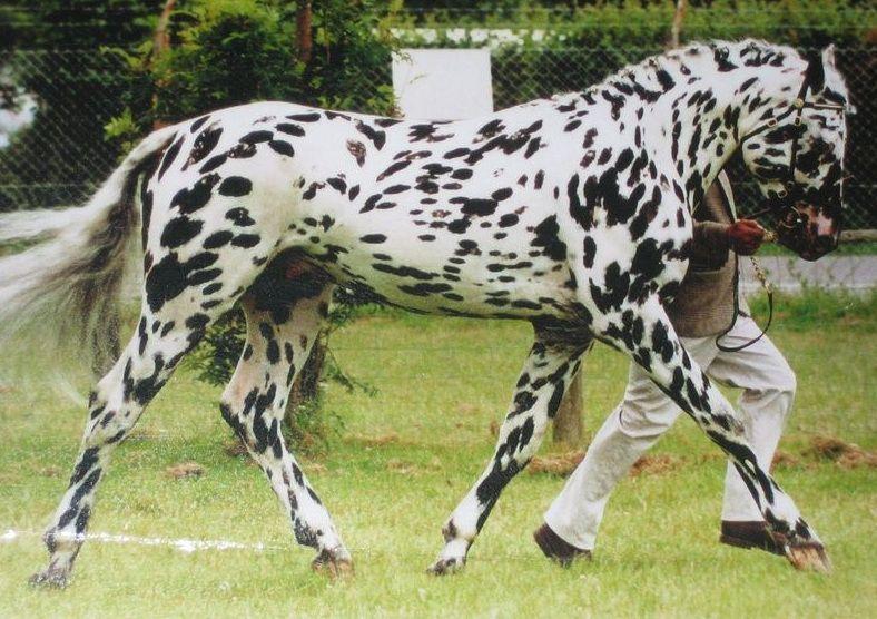 Чубарая лошадь на тренировке