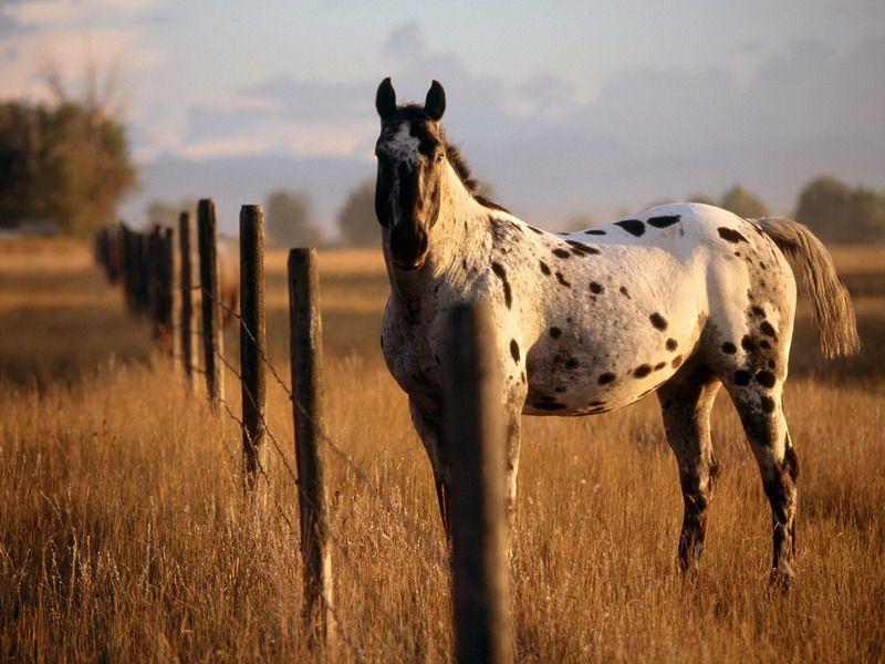 Чубарые лошади священны для казахов