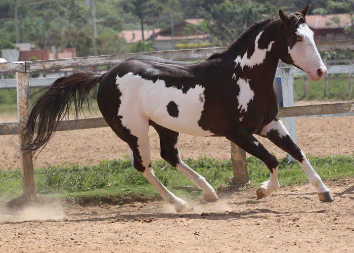 Пегая чубарая лошадь