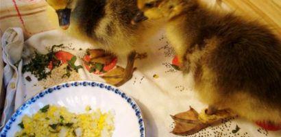 Чем кормить гусят в первые дни в домашних условиях