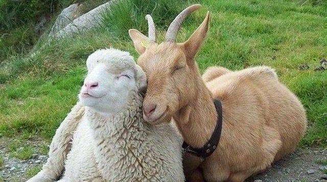Шерсть овец и коз очень ценится рукодельницами
