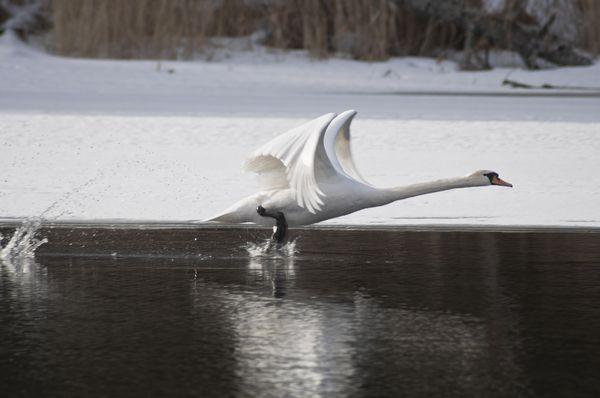 Эти птицы способны плескаться и в ледяной воде