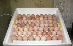 Яйца на инкубации