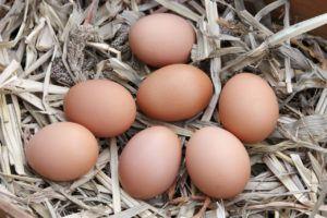 Простуда у кур может стать причиной снижения яйценоскости