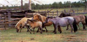 Якутские лошади на бройлерном откорме при табунном содержании