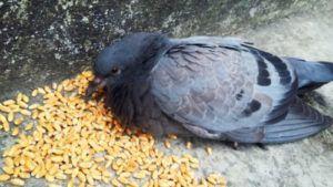 Важно знать, как и когда кормить голубей