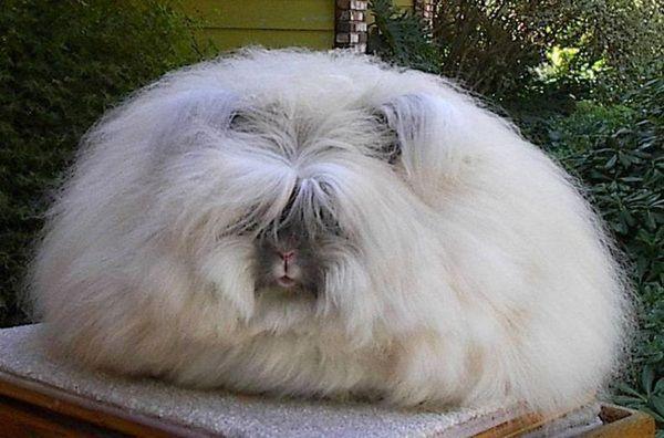 Кролик породы «ангорский лев»