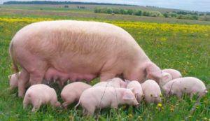 Крупная белая свиноматка с поросятами на выгуле
