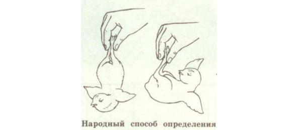 как отличить гуся от гусыни фото