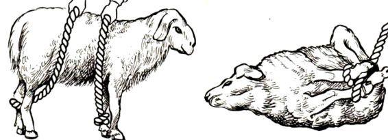 Для удобства козу связывают
