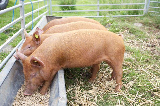 Кормление беременных свиней