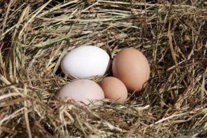 Яйца молодых куриц значительно меньше стандартных
