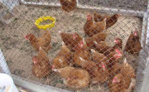 Сбить нормальное функционирование гормональной системы несушки может даже перемена места гнездования или выгула птицы