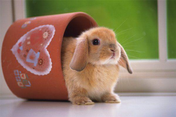 Дождитесь, когда кролик начнет спокойно реагировать на ваш голос
