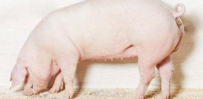 Экстерьер крупной белой свиньи