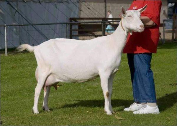 Окрас у зааненских коз чистый белый