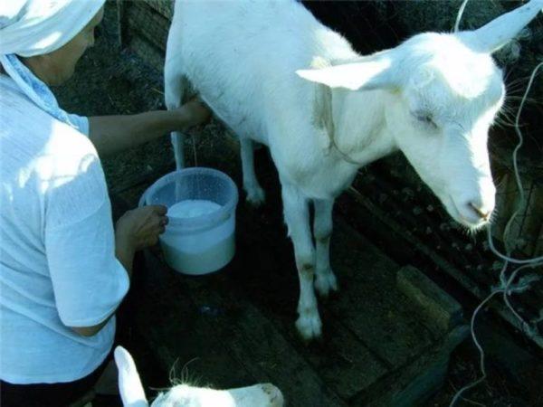 Спокойная коза во время доения