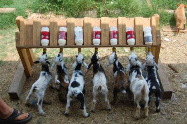 Подросшие козлята пьют молоко из импровизированных поилок с сосками