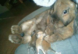 Вскармливание крольчат другой матерью