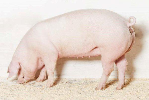 Самка свиньи