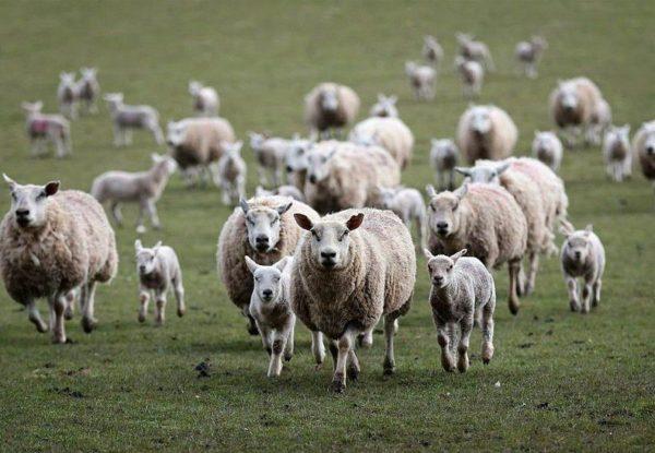 Овцы на полях Казахстана