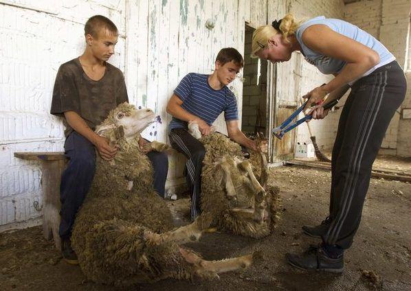В первое время при стрижке овец обзаведитесь помощником