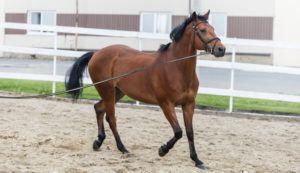 Лошадь породы Тракенен