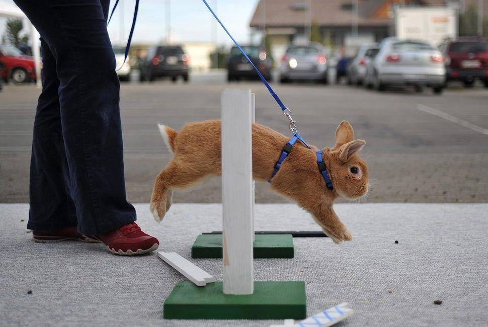 Кролик прыгает в кольцо