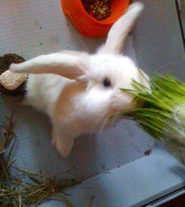 Не следует досыта кормить кролика перед тренировкой