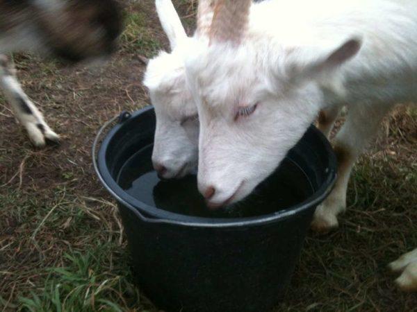 Коза с удовольствием пьет воду