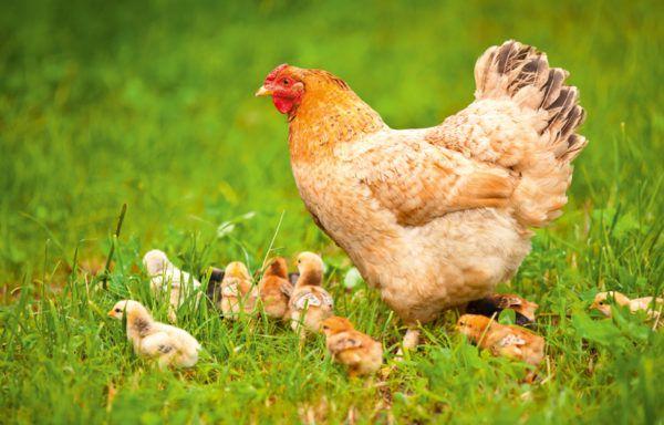 На выгул маму с малышами можно выпускать, когда цыплятам исполнится две недели