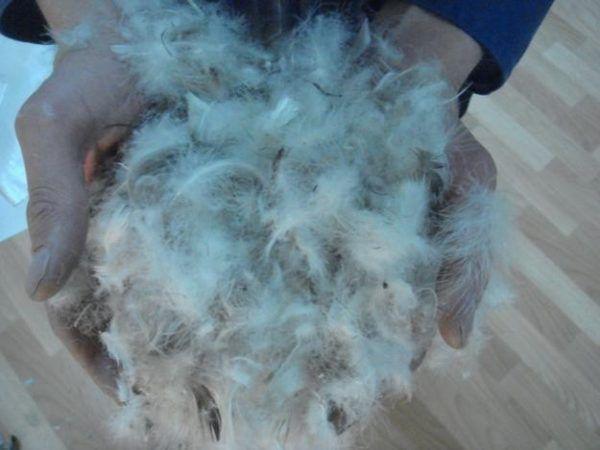 Пух и перья утки