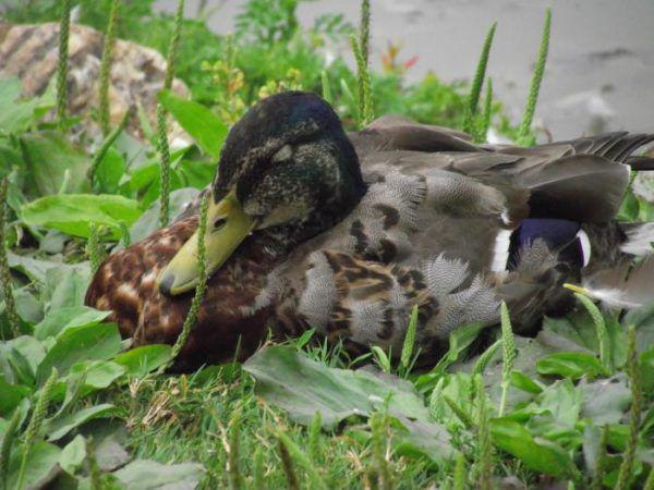Вид оперения утки в период линьки
