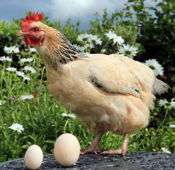 Даже обычная курица способна снести гигантское яйцо