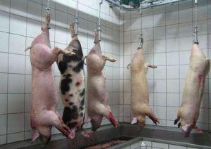 Свиные туши, подвешенные после забоя