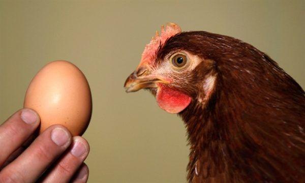Первое яйцо обычно курица сносит в 22 недели