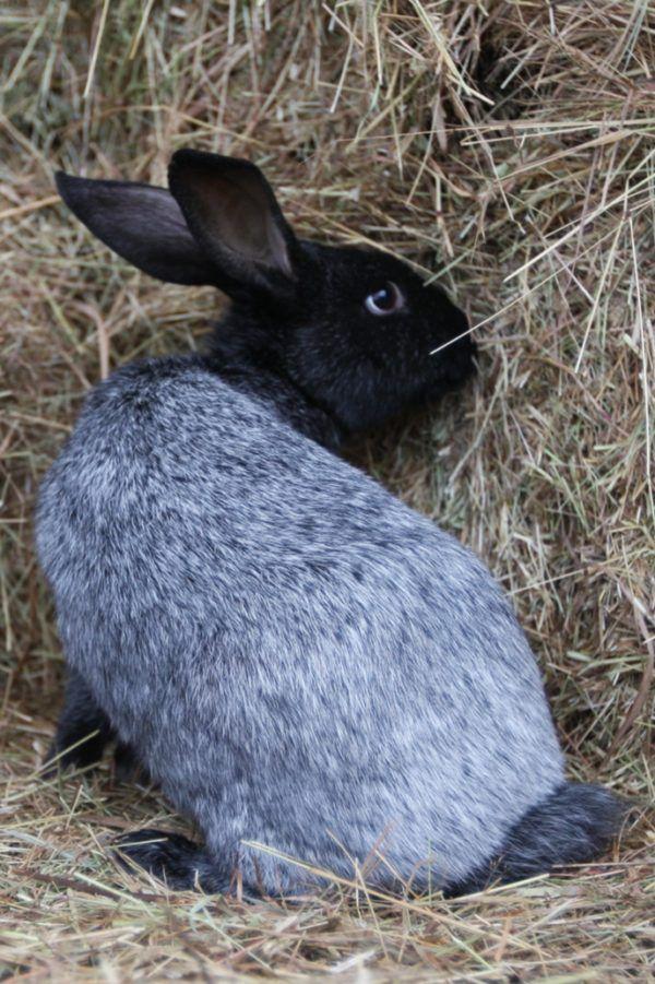 Серебристый окрас кролика