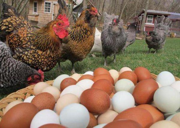 Количество снесенных яиц зависит от породы и возраста